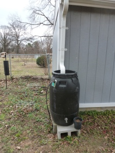 The discharge from this rain barrel is being re-directed to water some spice bushes which require moist conditions.