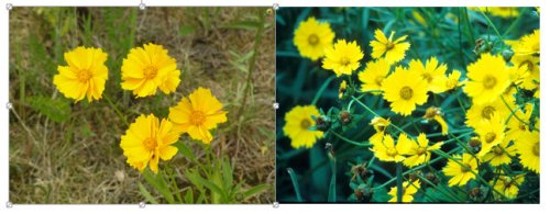 coreopsis - plant of the week
