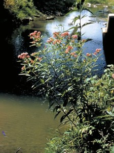 swamp milkweed plant of the week 2