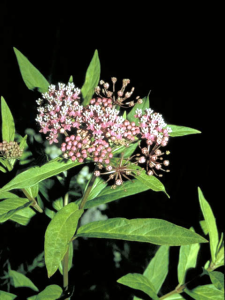 swamp milkweed plant of the week