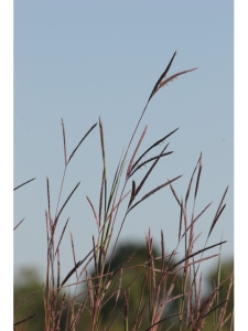 big bluestem plant of the week 2