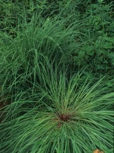 big bluestem plant of the week