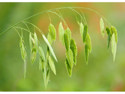 Inland sea oats
