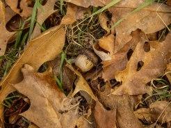 acorn in the leaves