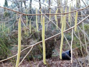 Male catkins - close up
