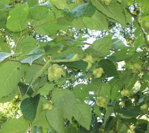 August - Developing hazelnuts
