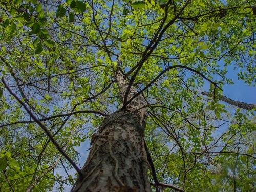 hickory canopy