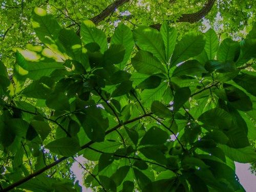 pawpaw canopy