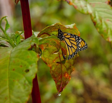 butterfly monarch new